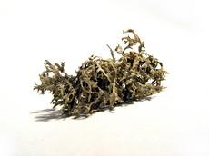 исландский мох и 12 рецептов его применения