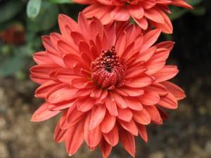 лечебная хризантема