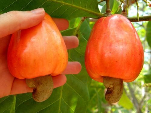 Орех кешью и его полезные свойства