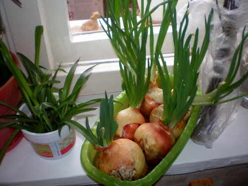Лук - древний овощ