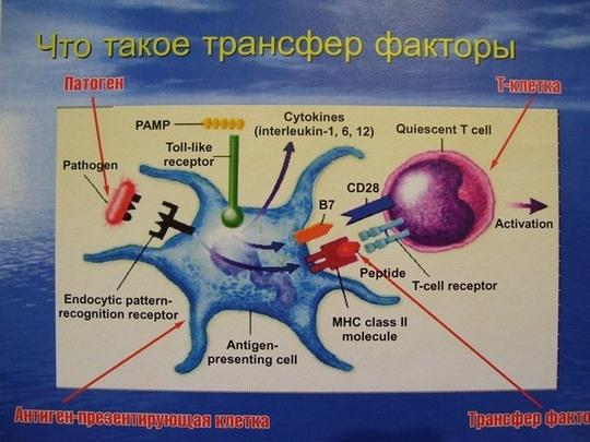 Молекулы имунной системы