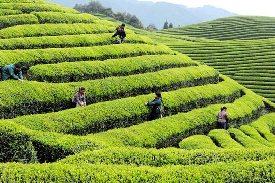 Плантация белого чая
