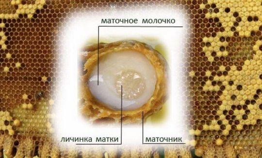 Пчелиное маточное молочко – лечебный продукт