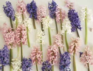 Гиацинты восточный фото, гиацинты цветы, гиацинт цветок